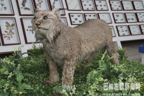 国家二级保护动物------猞猁