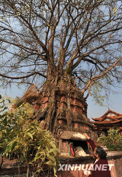云南景谷塔林双绝 树包塔 塔包树