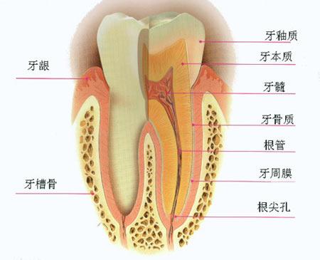 牙齿结构图-洗牙-专题