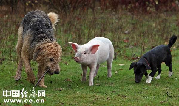 英国某动物救助中心:猪朋狗友一家亲(图)