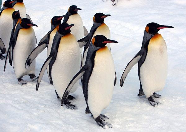 """帝企鹅推迟""""减肥""""节食减肥会导致散步例假不会图片"""