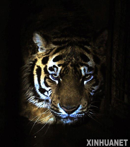 这是沈阳森林野生动物园内的一只东北虎(2010年3月13日摄)。2009年12月至2010年2月底,沈阳森林野生动物园11只东北虎陆续死亡。令人难以相信的是,在长达3个月的时间里,濒危的东北虎一只一只相继死去,动物园、野生动物保护部门却束手无策,难有作为。惨痛的教训应该引起我们的反思:市场经济环境中,经济利益并不是唯一的追求,生态、社会效益不能忽视。新华社记者姚剑锋摄