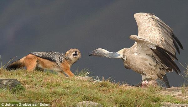 豺狼立即后退,并再次试图发起攻击,但在发现没有任何机会后,豺狼转身离开。   现年40岁的约翰称:尽管我们经常拍摄大自然野生动物照片,但能拍摄到这种陆地和空中动物物种搏斗场面的机会极为罕见。当我们看到豺狼和秃鹰互相注视对方时,我们预感到这场战斗将为我们提供绝佳的摄影素材。在整个过程中,我们最感到兴奋的是,能拍摄到秃鹰突击啄豺狼鼻子的一幕。 (海澜)