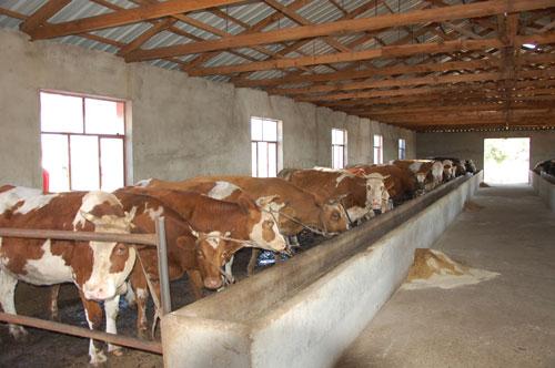 巴彦扎拉嘎乡育肥牛