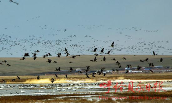 国家二级保护动物天鹅和鸿雁