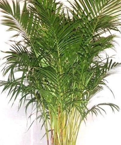 家里种棕榈树好不好
