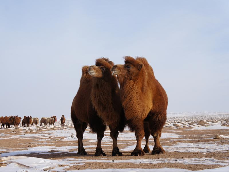 乌拉特戈壁红驼之乡—乌拉特后旗-内蒙古文明网-新闻