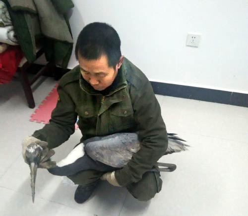 图牧吉自然保护区成功救助一只野生白枕鹤
