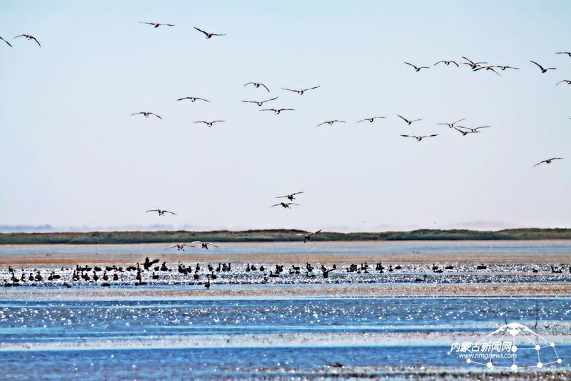 远方的贵客——丹顶鹤夫妻正在哈沙图湖畔觅食嬉戏,这是