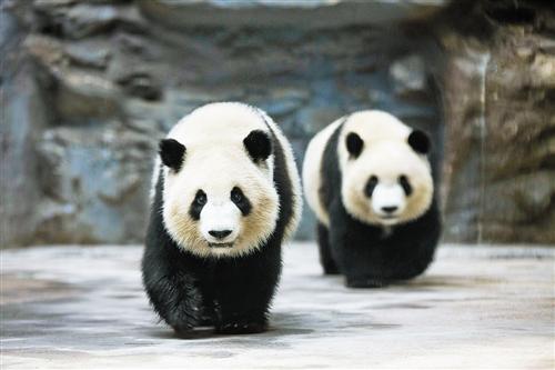 """""""姐妹俩""""在鄂尔多斯野生动物园大熊猫馆内散步"""