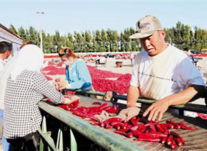 科尔沁区敖力布皋镇好老营子村红干椒合作社的椒农们在分拣红干椒.