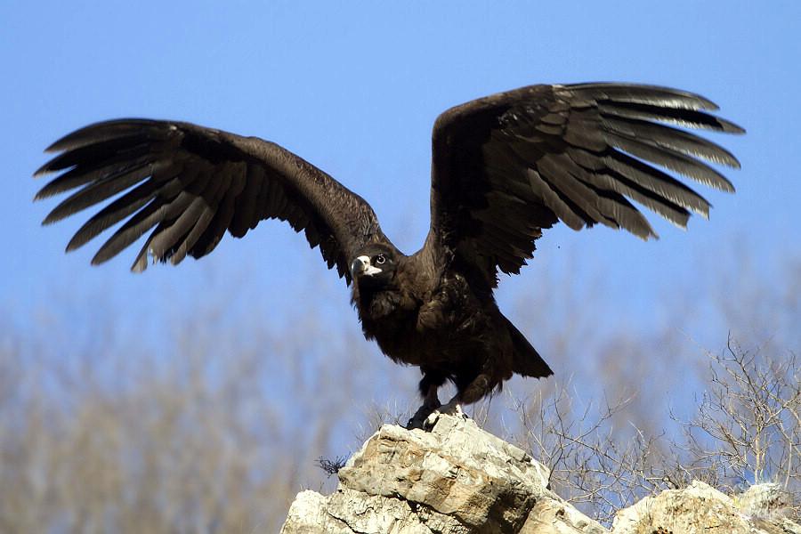 确认这只大鸟为国家二级保护野生动物秃鹫