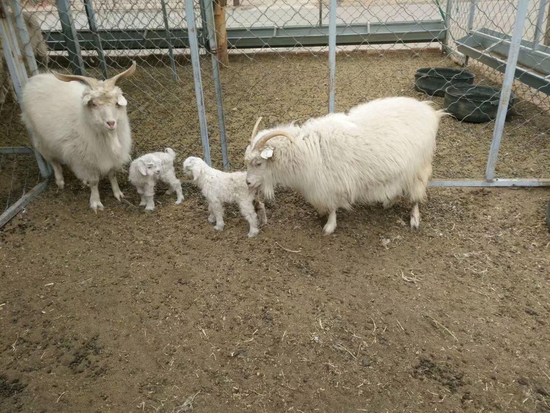 幸运彩票网安全吗:世界首例体细胞克隆超细型绒山羊有了自然繁育后代