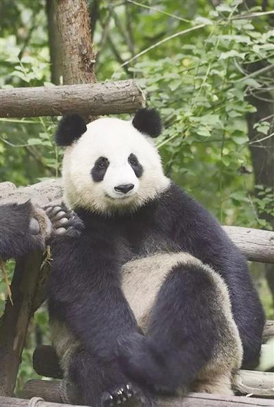 据了解,4月29日9时开始,大青山野生动物园大熊猫馆正式接待游客.