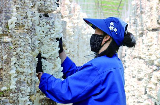 阿尔山市五岔沟镇食用菌养殖基地黑木耳进入采摘季